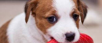 Смена зубов у щенка рассел терьера