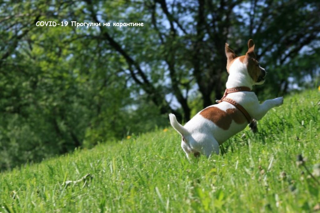 Коронавирус у собак, выгул на карантине