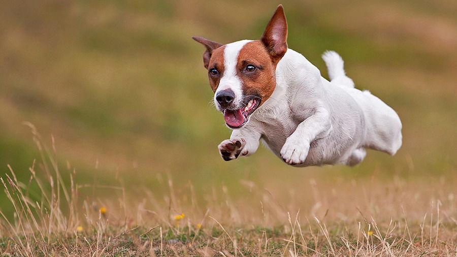 Как усмирить собаку джек рассела