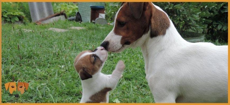 Зачем нужна родословная собаки